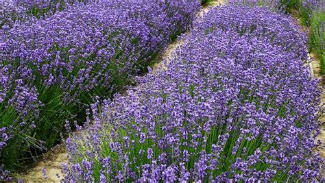 common lavender lavandula angustifolia hidcote blue