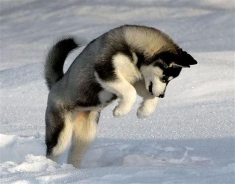 puppy cold the 20 best cold weather breeds snowbrains