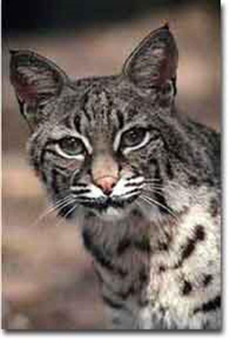 texas cats texas parks wildlife department