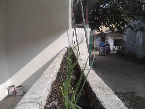 Cari Bibit Bawang Merah budidaya bawang merah ayo berkebun di sekitar rumah