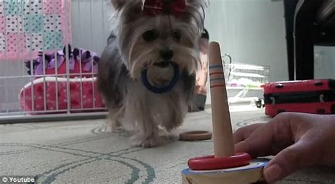 misa the yorkie misa the yorkie exhibits many talents from painting to skateboarding in an