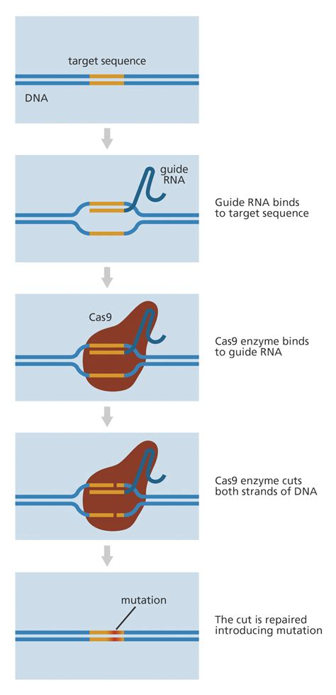what does diagram what is crispr cas9 facts yourgenome org