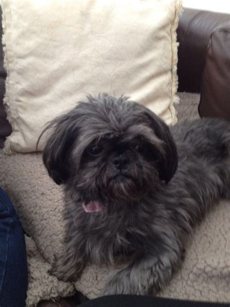 shih tzu blue blue imperial shih tzu wellingborough northtonshire pets4homes