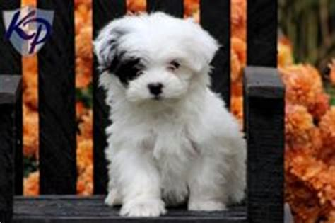 maltipoo puppies for sale in missouri 1000 images about maltipoo on maltipoo maltipoo puppies and teacup
