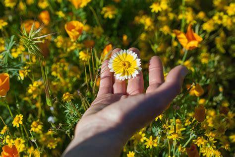 californias desert wildflowers burst  bright super