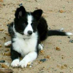 haired border collie puppies border collies border collie puppies for sale border collie info u k