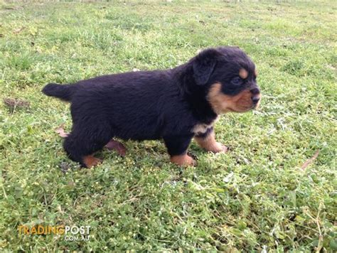 rottweiler puppies for sale trading post rottweiler puppies bob for sale in londonderry nsw rottweiler puppies bob