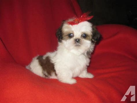 tiny shih tzu puppies shih tzu puppies imperial 9 weeks breeds picture