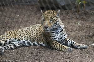 Jaguar Behaviour Students Into Exhibits At Zoo While On Field