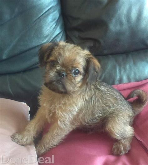 griffon puppies for sale 1000 ideas about griffon bruxellois on brussels griffon puppies pets and