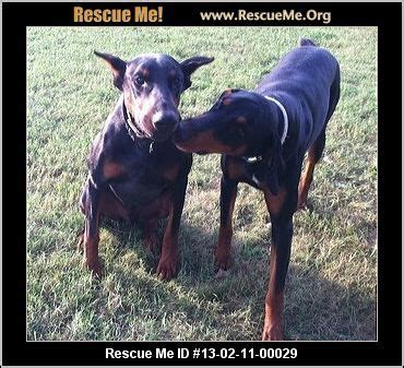 tennessee rescue 1000 images about dobe on milwaukee given up and woodstock