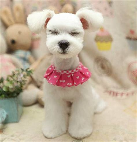 asian fusion maltese haircut asian fusion schnauzer search results hairstyle galleries