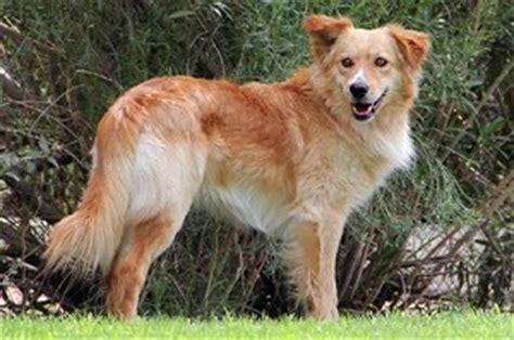 golden retriever border collie cross golden collie border collie x golden retriever mix temperament puppies