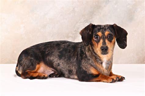 dachshund puppies for adoption dachshund rescue breeds picture