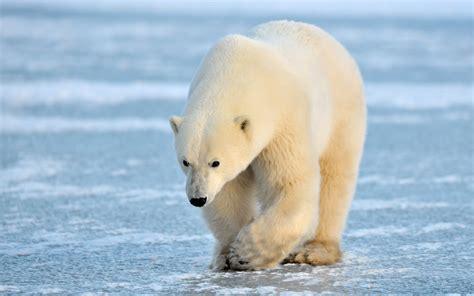 ivanildosantos gambar beruang kutub