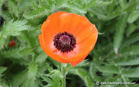 poppy pictures poppy flower pictures