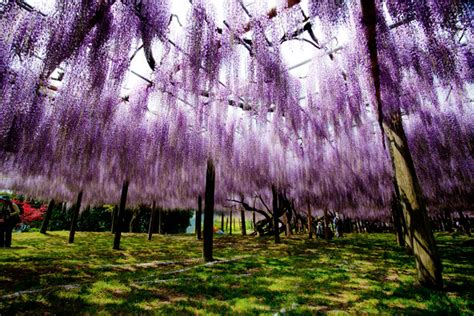 wisteria flower tunnel japan the wisteria flower tunnel at kawachi fuji garden