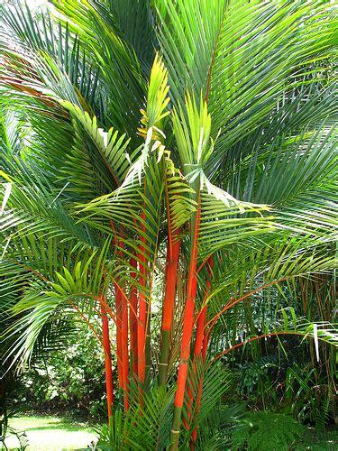 Pohon Pohonan Palm Palem 15cm cara menanam palem merah untuk budidaya di rumah