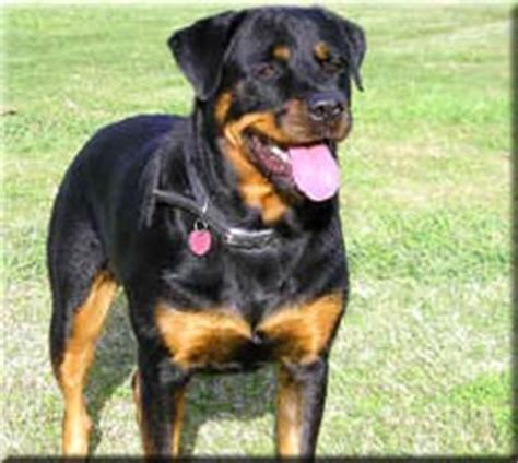 grown rottweiler rottweiler breed information and pictures dooziedog