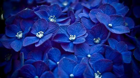 Wallpaper Blue Hydrangea   blue hydrangea wallpaper 617982