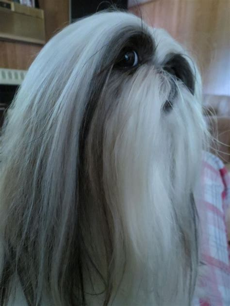 haired shih tzu 66 best images about haired shih tzu on hair dos show and