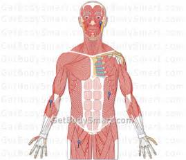 Muscles of the upper body worksheet muscles quizzes by body region
