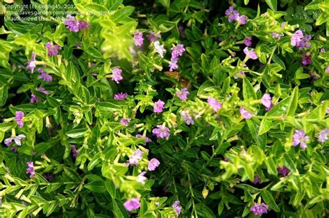 green shrub with pink flowers plant identification closed small shrub with pink