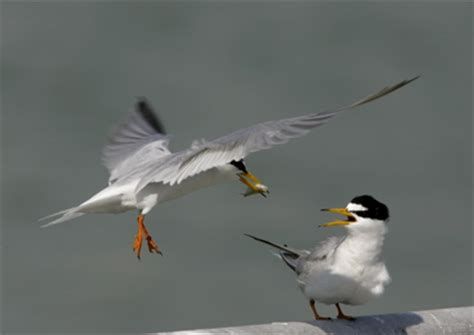 little terns courtship behaviour bird ecology study group