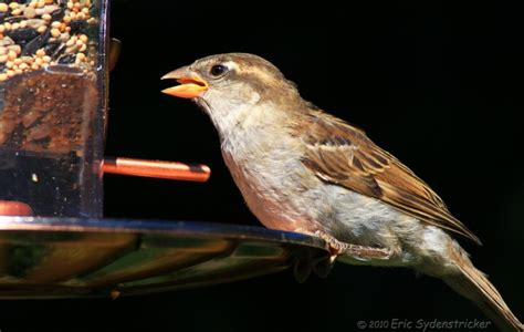 house sparrow photo eric sydenstricker photos at pbase com