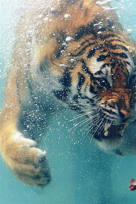 wallpaper for iphone 6 tiger freeios7 tiger likes meat parallax hd iphone ipad