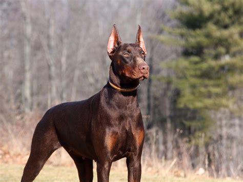 doberman puppies breeders doberman pinscher for sale by kevlar dobermans american