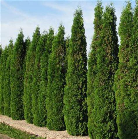 skybound cedar  gallon pot golden acre home garden