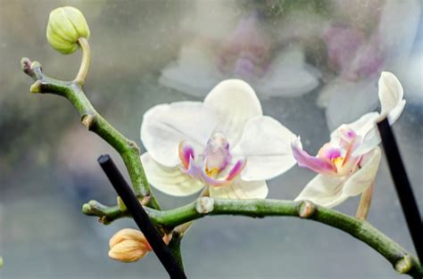 care of orchids after flowering phalaenopsis orchid care learn about phal orchid maintenance after blooming