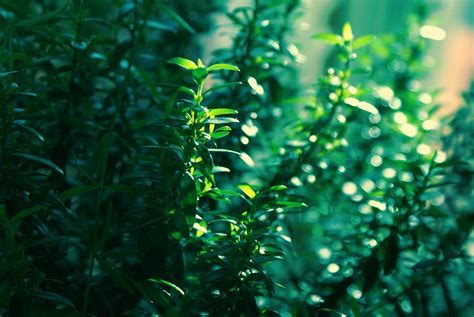 myrtle light high resolution picture of myrtle photo of leaves light