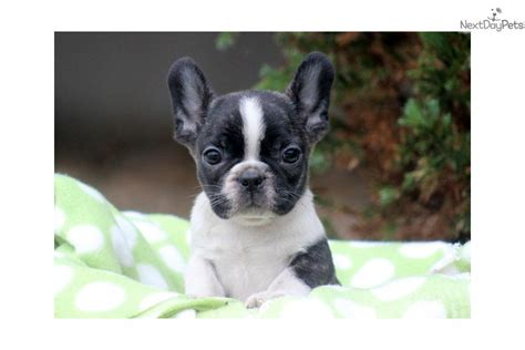 Meet Landon a cute French Bulldog puppy for sale for