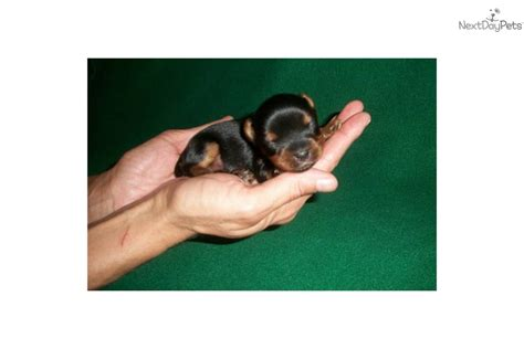 teacup yorkie rescue houston teacup yorkie puppies for sale in houston breeds picture