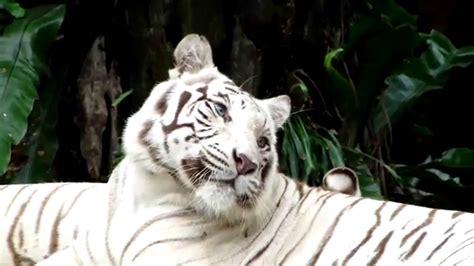 White Royal Bengal Tiger (Panthera tigris tigris) - YouTube