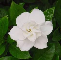 Magnolia Flower Paintings - white flower weneedfun