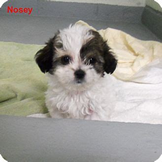 rat terrier shih tzu mix nosey adopted puppy 7715f slidell la shih tzu rat terrier mix