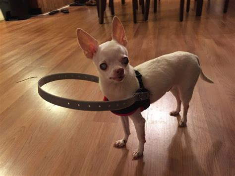 collar for blind dogs lil blind s family invents a bumper collar for him so he doesn t run into