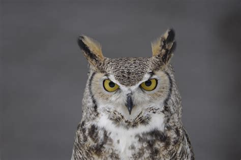 flying animal the great horned owl