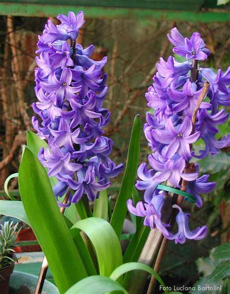 giacinto fiori fiori famiglie iniziano con la lettera l m n o p