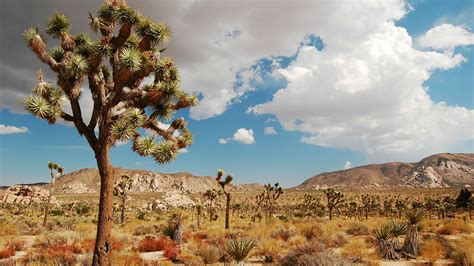 Joshua Tree joshua tree is the desert oasis where pilgrims unwind and