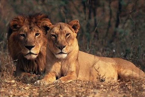 difference between lion and lioness asiatic lion facts habitat diet conservation population