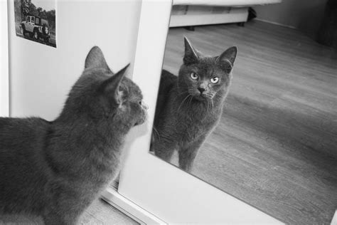 a cat in 2010 cat s reflection in the mirror photograph by marius puluikis