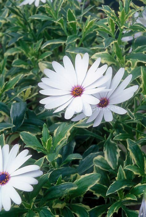 osteospermum silver sparkleru white flowers