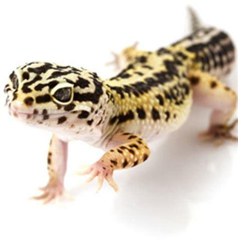 leoparden deko 10 interesting leopard gecko facts my interesting facts