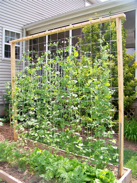 Vegetable Garden Trellis Ideas Our Snap Pea Trellis 7 Ft Garden Vegetable Garden Pintere