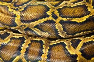 pattern design in python pattern skin of snake stock photo image of python