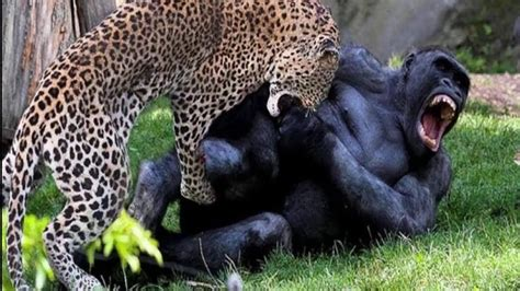 leopard fights gorilla baboon  hyenas unexpected youtube